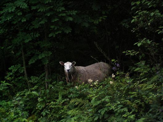 800px-Sheep_in_Norway, by Master-M