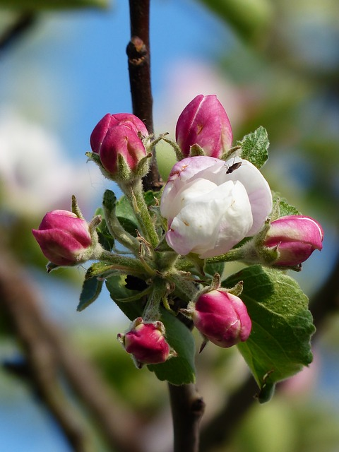 apple-blossom, pink, white-116394_640