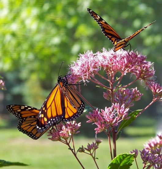 monarch-18355_640