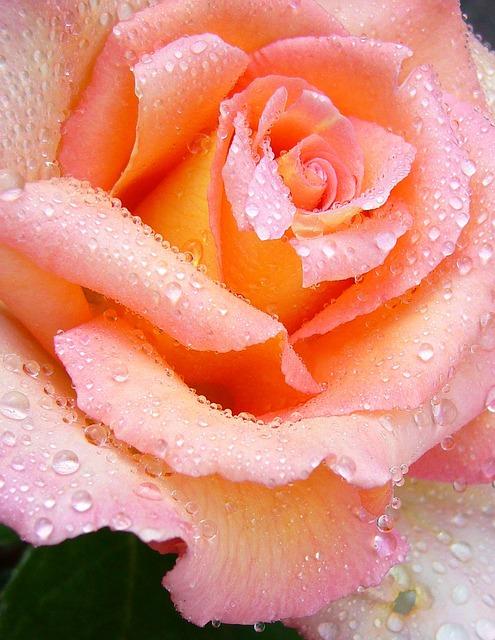 rose-57071_640