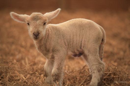 lamb-19082_640