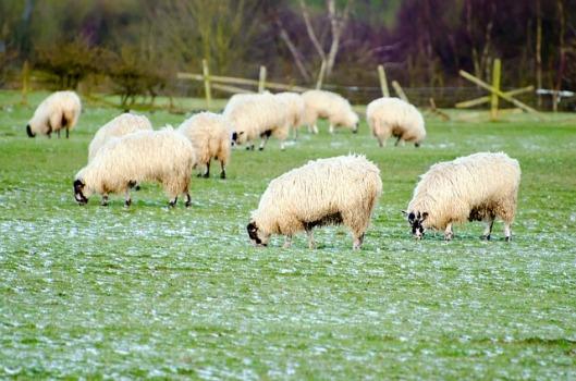 sheep-164160_640