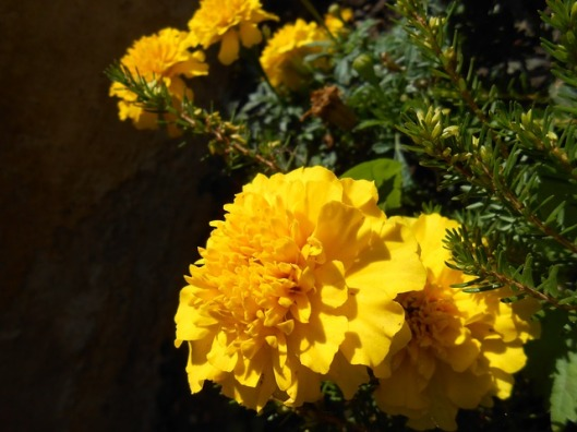 marigold-57855_640