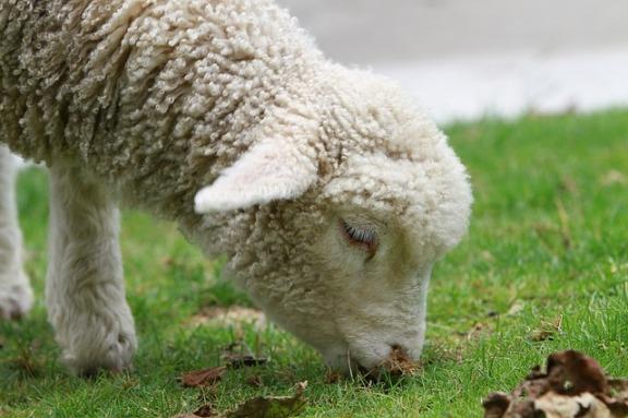 sheep-50916_640