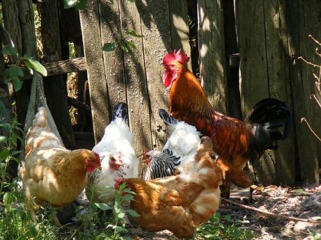 chicken-88507_640