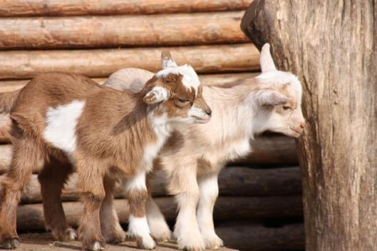goats-49172_640
