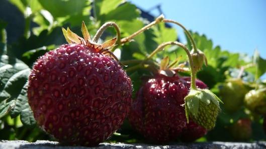 strawberries-18938_640