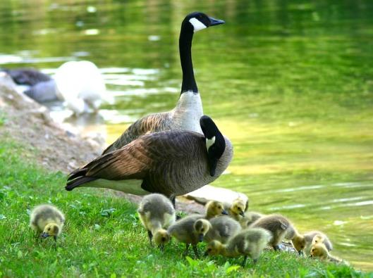 canada-goose-216015_640