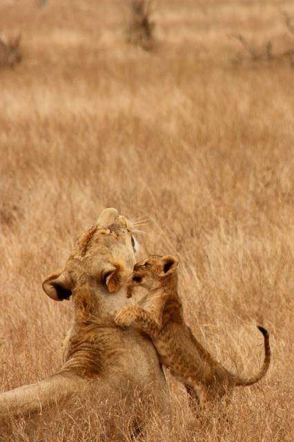 lion-2839_640