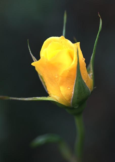 rose-142406_640