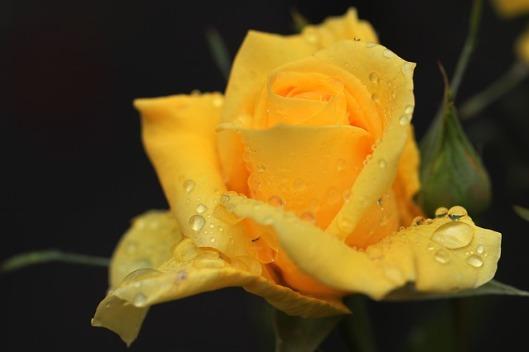 rose-142830_640