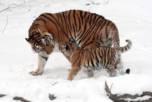 tiger-67577_640