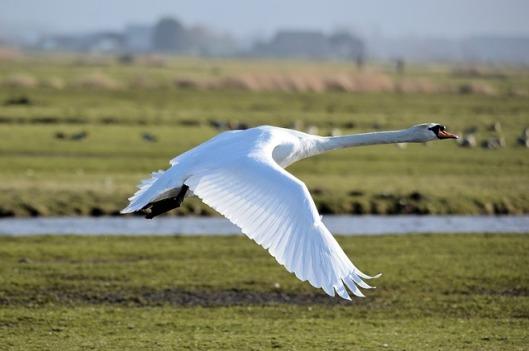 swan-316673_640