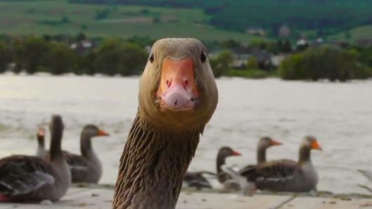 duck-178143_640