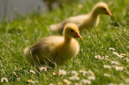 goslings-384581_640