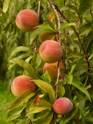 peaches-8983_640