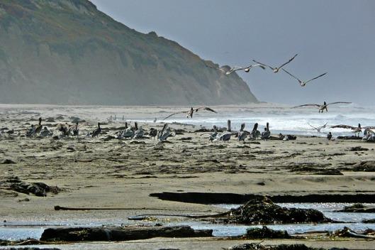 pelicans-53907_640