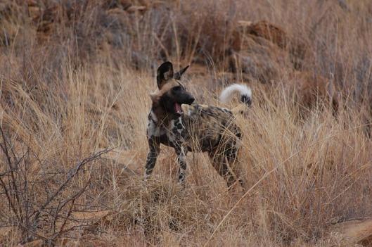 wild-dog-277424_640