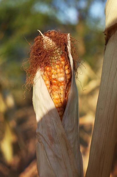 corn-487967_640