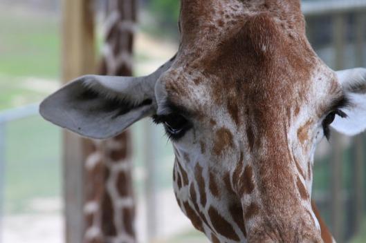 giraffe-412438_640