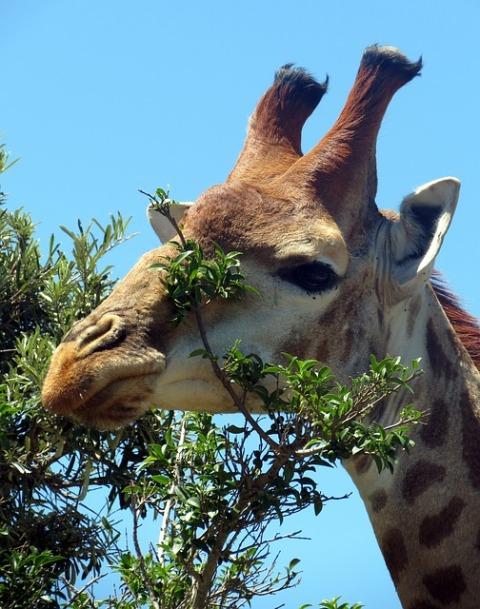giraffe-534837_640