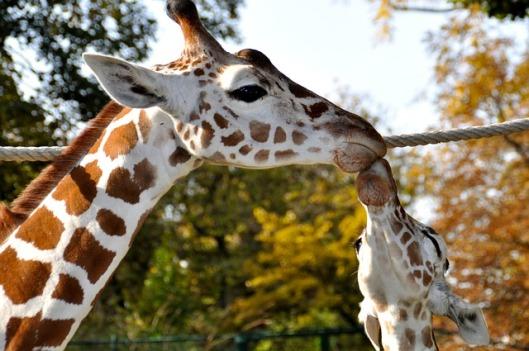 giraffes-272118_640