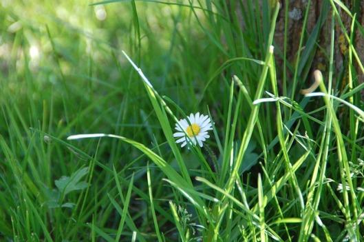 daisy-107135_640