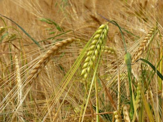 barley-502370_1280