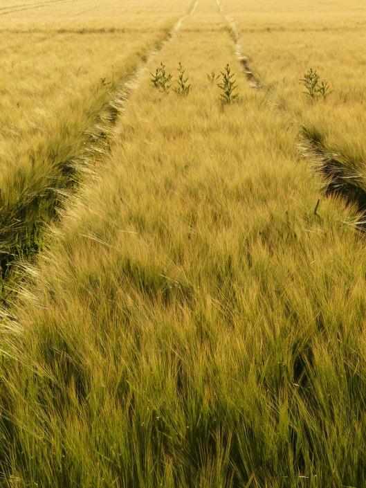 barley-field-8237_1280