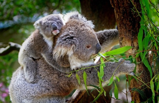 koala-61189_640