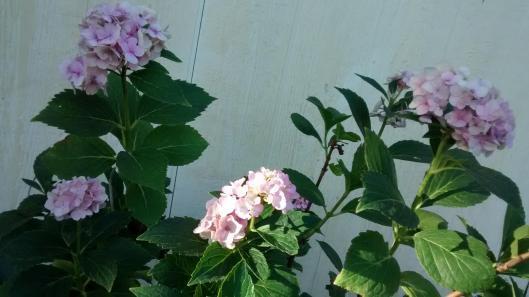 Hydrangeas-my-country-home