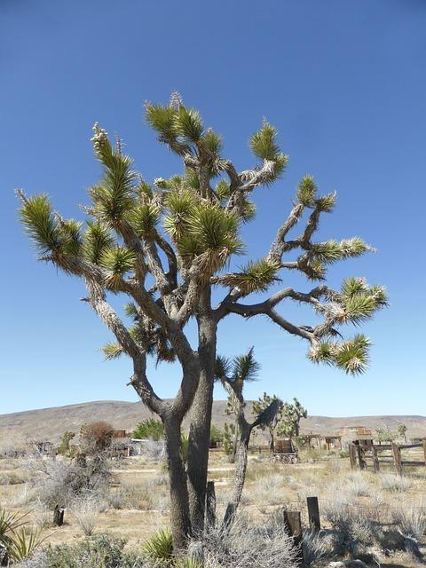 joshua-tree-848232_640