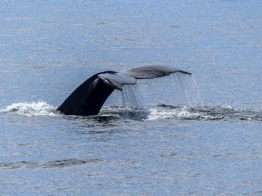 humpback-whale-436111_640