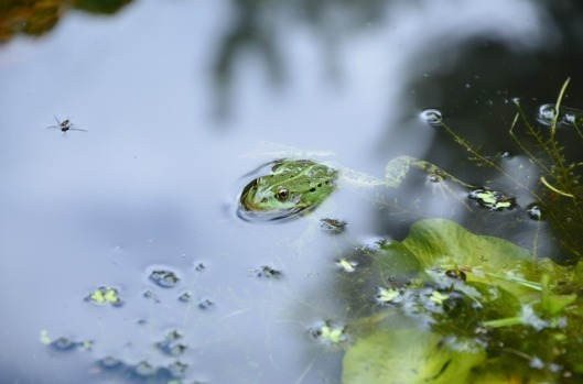 frog-476377_640