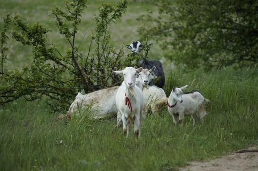 goat-972567_640