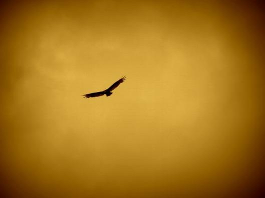eagle-57229_640