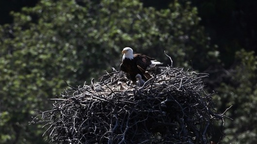 bald-eagles-1761466_640