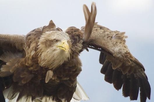 eagle-860344_640
