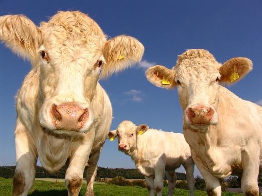 cows-1029077_640