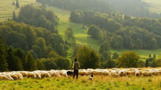 sheep-690198_640