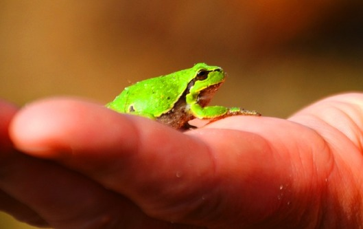 frog-334969_640